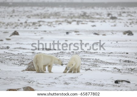 Meeting. Two polar bears have met and sniff each other. Tundra in snow. A blizzard. - stock photo