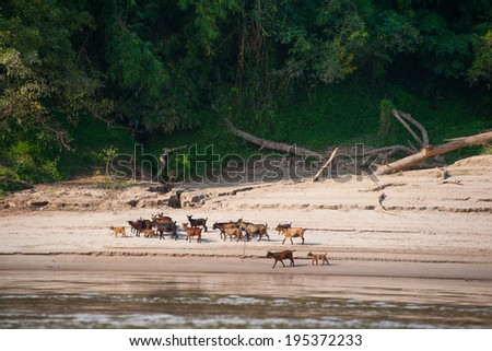 Mekong River Cruise in Laos. Popular tourist adventure trip by slow boat from Huay Xai to Luang Prabang. Goats on river bank - stock photo