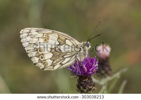 Melanargia galathea, Marbled White butterfly from Lower Saxony, Germany, Europe - stock photo