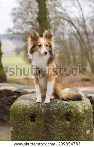 Melancholic and sad shetland sheepdog sits on a stone  - stock photo