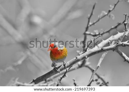 Melba Finch - African Wild Bird Background - Red, Orange, Yellow ... Beautiful Nature - stock photo