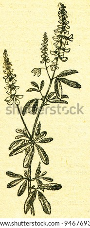 """Melilotus, known as Melilot or Sweet-clover - an illustration from the book """"In the wake of Robinson Crusoe"""", Moscow, USSR, 1946. Artist Petr Pastukhov - stock photo"""