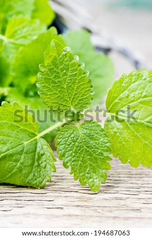 Melissa (lemon balm) leaves on wooden table - stock photo