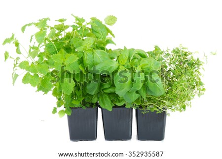 melissa, thyme and basil in a pot on white background - stock photo
