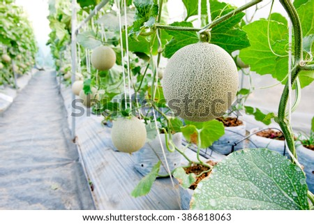 Melon in greenhouse - stock photo