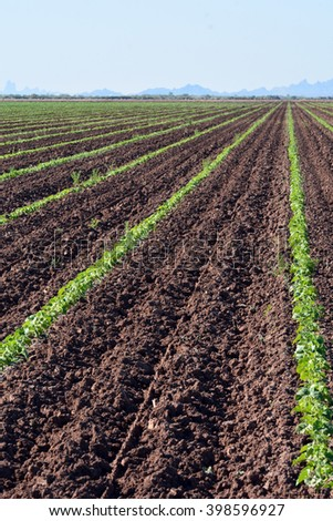Melon plants growing in rows in large field. - stock photo
