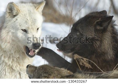 Members of wolf pack,interaction - stock photo