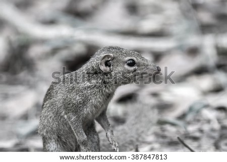 Menetes berdmorei (Indochinese ground squirrel, Berdmore's ground squirrel , Burmese Striped Squirrel , Tamiops mcclellandii)  in Doi Inthanon Natural Park, Thailand,in black tone with selective focus - stock photo