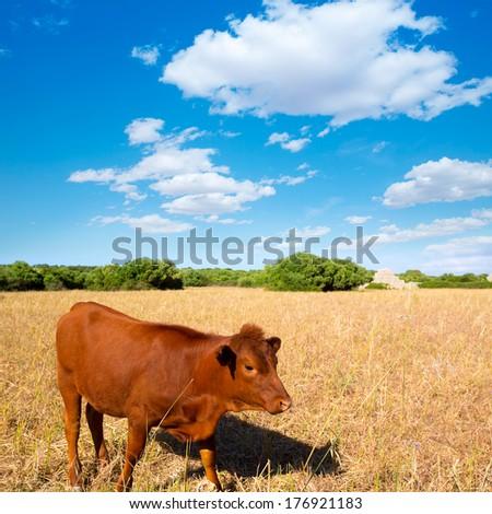 Menorca brown cow grazing in golden field near Ciutadella at Balearic islands - stock photo