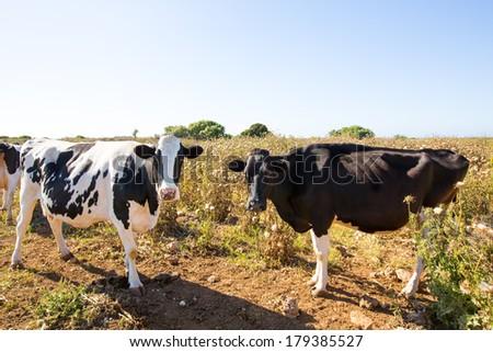 Menorca friesian cows cattle grazing near Ciutadella Balearic Islands - stock photo