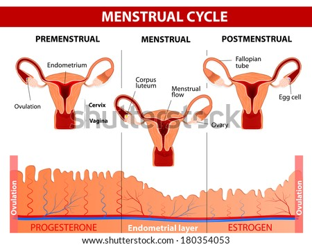 Menstrual cycle. Menstruation, Follicle phase, Ovulation and Corpus luteum phase. diagram - stock photo