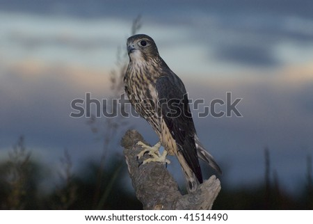 Merlin falcon (Falco columbarius) alights on tree limb against sunset sky. - stock photo