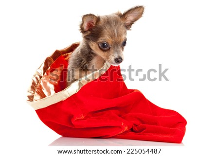 Merry Christmas and Happy New Year.  chihuahua dog - stock photo