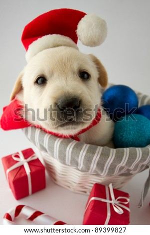 Merry Christmas - portrait of cute labrador puppy in Santa hat - stock photo