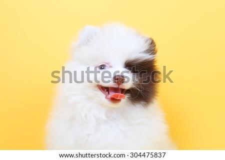 merry cute little spitz puppy - stock photo