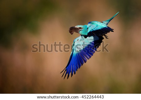 Metallic blue colored bird, European Roller, Coracias garrulus,male flying with mouse in its beak against abstract orange background. Hungary. Close-up photo. - stock photo