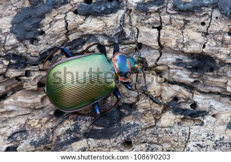 Metallic fiery searcher ground beetle on wood - stock photo