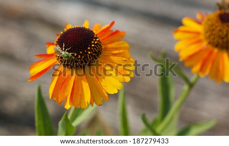 Metallic Green Bee on Orange cone flower with blurred background - stock photo