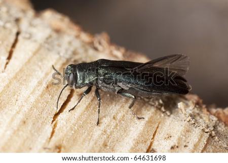 Metallic wood boring beetle (Agrilus) on wood, macro photo - stock photo