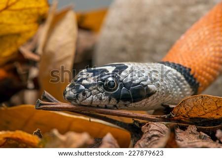 Mexican Banded King Snake amid rocks and leaves/Mexican Banded King Snake/Mexican Banded King Snake (lampropeltis alterna) - stock photo