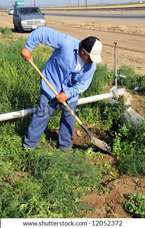 Mexican farm worker weeds around irrigation pipes, San Joaquin Valley, California - stock photo