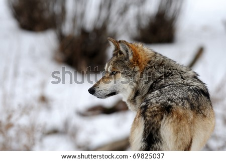 Mexican gray wolf (Canis lupus baileyi) in winter - stock photo