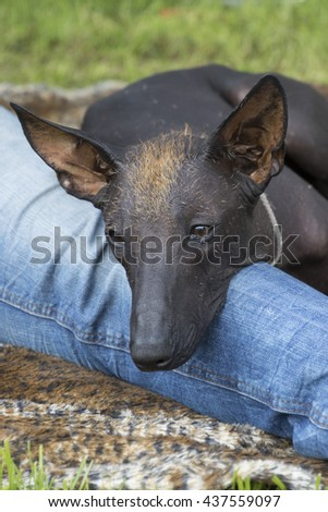 Mexican Hairless Dog - stock photo