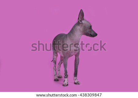 Mexican hairless dog on a colored background isolated - stock photo