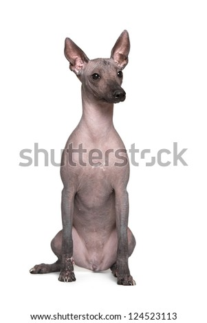 Mexican hairless dog, Xoloitzcuintle on a white background - stock photo