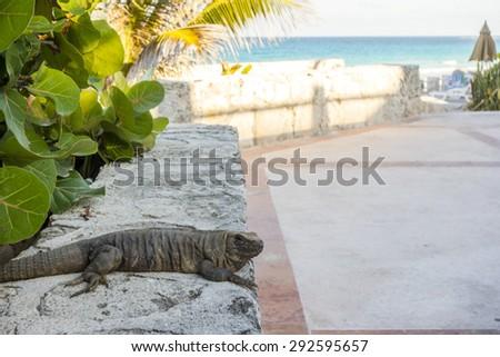Mexican Iguana at beach walk curb during evening golden hour, Yucatan peninsula - stock photo