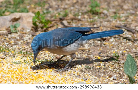 Mexican Jay (Aphelocoma wollweberi) eating off the ground at Madera Canyon, AZ - stock photo