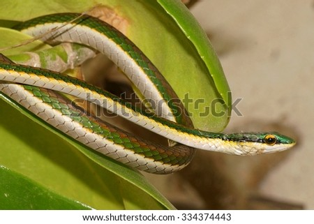 Mexican Parrot Snake, Leptophis mexicanus - stock photo