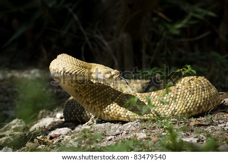 Mexican Rattlesnake - stock photo