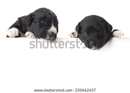 Mexican xoloitzcuintle puppies with blank advertising board or copy space  - stock photo