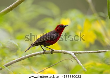 Micronesian Myzomela (Myzomela rubratra kobayashii), an endemic to Micronesia, foraging for food on the island of Koror in the Republic of Palau. - stock photo