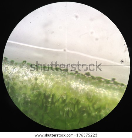 Microscopic transverse section   stem x100 showing xylem, phloem, cambium and a thick bark. - stock photo