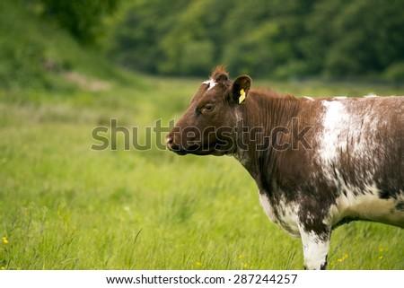 MIDDELFART, DENMARK - JUNE 7: A cow, on green pasture farmland, in rural Funen, Denmark. On 7th June 2015. - stock photo