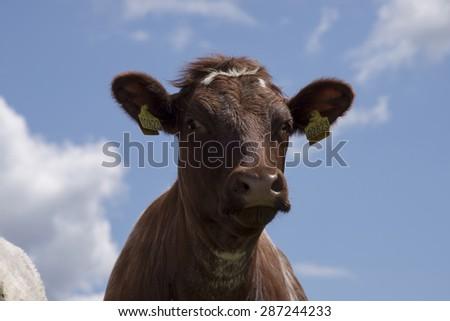 MIDDELFART, DENMARK - JUNE 4: Cow on green pasture farmland, in rural Funen, Denmark. On 4th June 2015. - stock photo