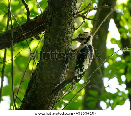 Middle Spotted Woodpecker (Dendrocopos medius) perched on a tree branch among leaves - stock photo