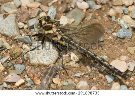 Midland Clubtail Dragonfly perched on a gravel path. - stock photo