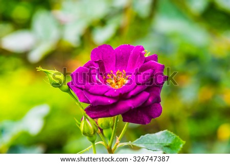 Midnight Blue Rose or Dark Violet Rose in Garden, Thailand. - stock photo