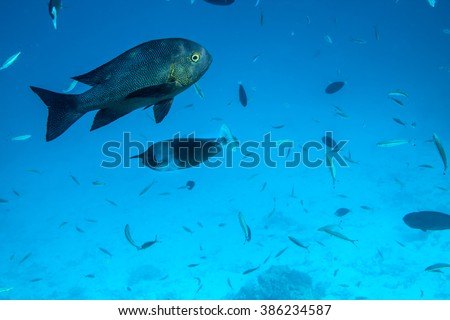 Midnight snapper in the Indian Ocean - stock photo