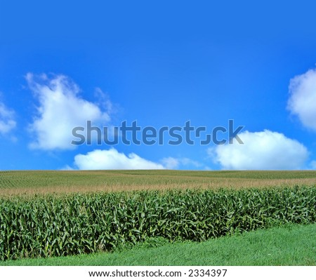 Midwestern corn field on a summer day - stock photo