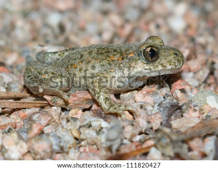 Midwife Toad (Alytes obstetricans) - stock photo