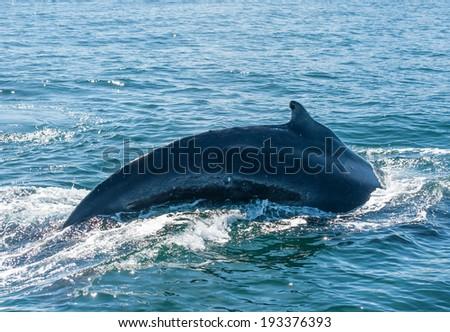 Mighty Humpback whale (Megaptera novaeangliae) seen from the boat near Husavik, Iceland - stock photo