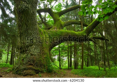 Mighty oak in the wood - Mazury, Poland. - stock photo