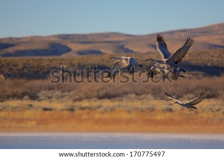 Migrating Sand Hill Crane - stock photo