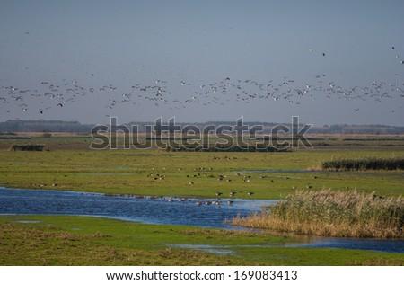 Migratory flock of Barnacle geese flying over nature reserve Oostvaardersplassen in the Netherlands - stock photo