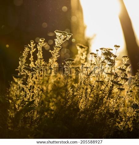 Milfoil (Achillea millefolium) -  plant against the light in the sunset light - stock photo