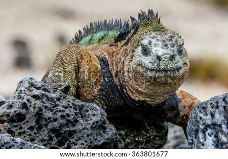miling iguana. The marine iguana on the black stiffened lava. The male of marine iguana (Amblyrhynchus cristatus) is an iguana found only on the Galapagos Islands - stock photo